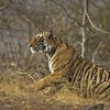 Bengal tiger arising in the jungles of Ranthambore tiger reserve in India