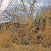 Wild tiger peeping over an ancient man made wall in Ranthambore national park