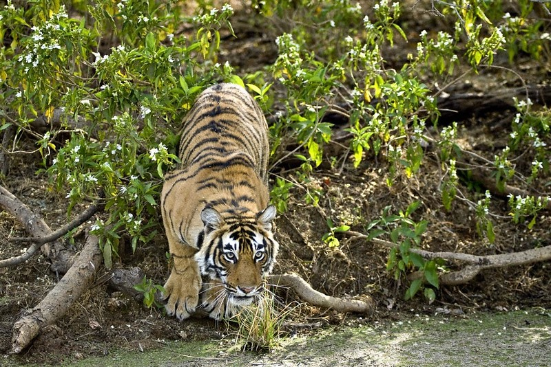Tiger leaping across a waterhole in Ranthambhore