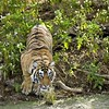 Tiger leaping across a waterhole in Ranthambhore