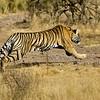 Charging tiger in Ranthambhore
