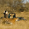 Professional cameraman filming tigers in Ranthambhore from a car