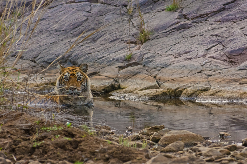 Tiger cooling off in a waterhole