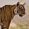 Tiger portrait from  Ranthambore tiger reserve