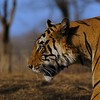 Head shot of a male tiger in the dry deciduous habitat of Ranthanbhore tiger reserve