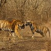 Two tigers - a male and a female - fighting in Ranthambhore national park
