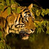 Head shot of a wild tiger in Ranthambhore national park