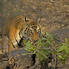 Wild tiger on his deer kill in the dry deciduous habitat in Ranthambore tiger reserve, India