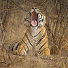 Tiger sitting and yawning in the dry forests of Ranthambore tiger reserve