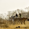 Tiger moving on the dry grasses in Ranthambore tiger reserve with tourists and photogarphers in the background