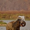 Asian or Asiatic Elephant (Elephas maximus) near a waterhole in the grasslands of Kaziranga national park in Assam