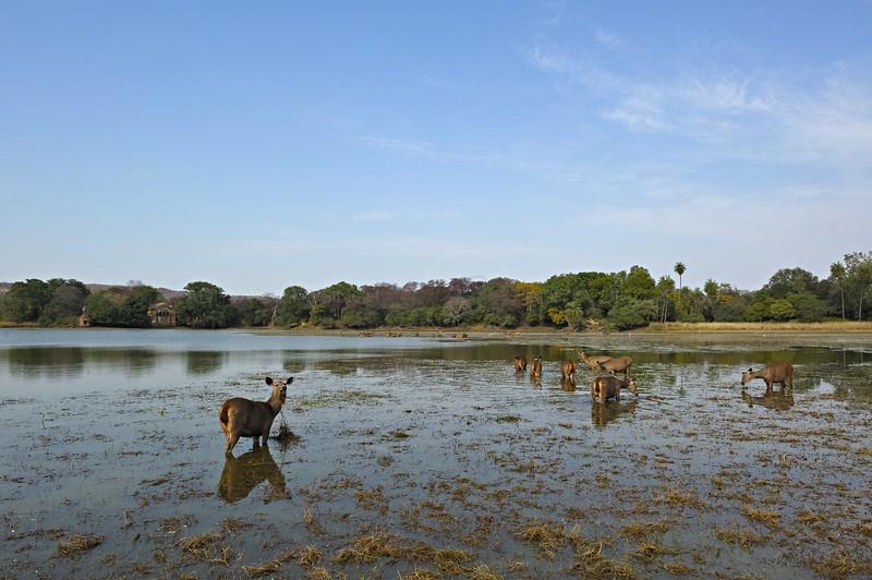 Sambar Deer (Cervus unicolor niger) grazing in a lake in Ranthambore national park
