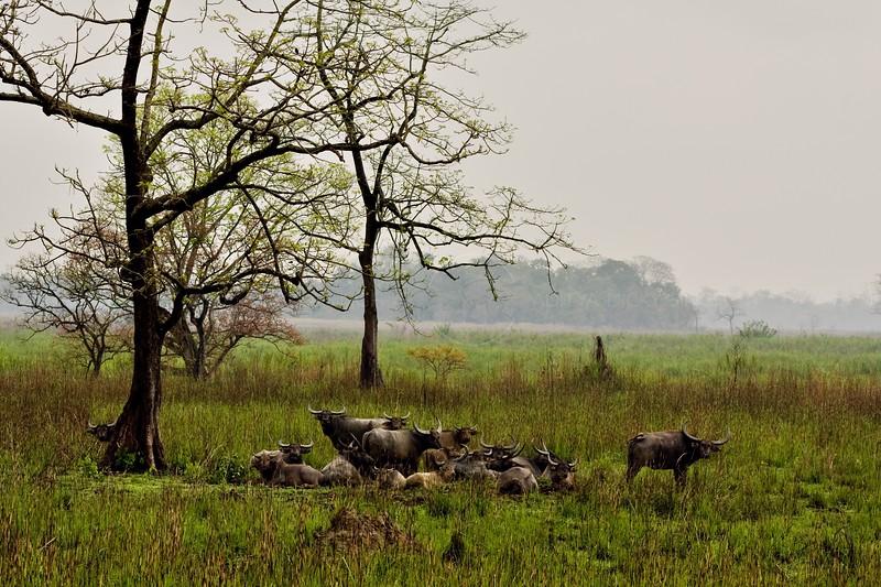 Herd of wild Asian Water Buffalo in the grasslands of Kaziranga national park