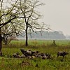 Herd of wild Asian Water Buffalo in the grasslands of Kaziranga national park