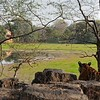 Tiger on a rocky platform near a lake in Ranthambore tiger reserve, India