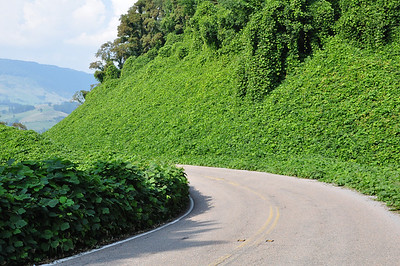 Kudzu on 16 in Thompson Valley.