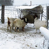 The Only Feeder the Goats Will Eat At Today.<br /> The goats are not going out into the chicken yard to eat at those feeders in the wind. There is some wind at this feeder but not as much as in the chicken yard.