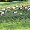 The Goat Herd This Year