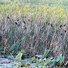 More Birds in the Cattails