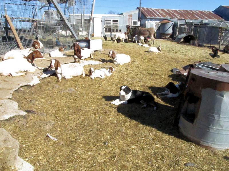 The Growing Goat Herd.