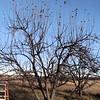 The Apple Trees Need Pruned.
