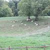 The Goat Herd Again