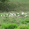 White Pigeons Grounded