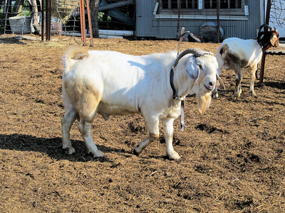 Ghost, A New Billy For the Herd Also.