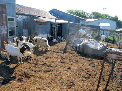 A Lot of the Goat Herd and the Big Dog.