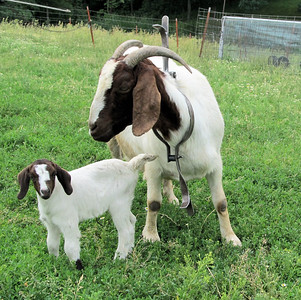 A New Little Nanny Goat Today