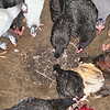 "Chickens ---- The real ""Lord of the Flies"""