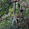 Spider monkey - Belize, Lamanai jungle tour  - January