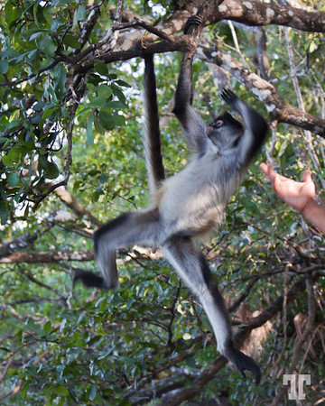 Leave me in peace!...   Belize, Lamanai jungle tour - spider monkey  - January