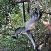Leave me in peace!... <br /> <br /> Belize, Lamanai jungle tour - spider monkey  - January