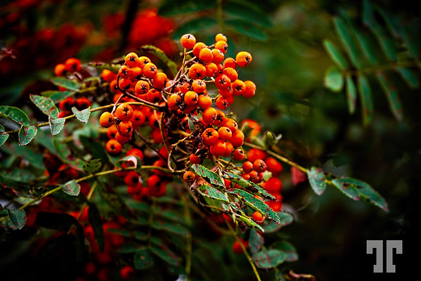Fiery red/orange berries in Cape Breton, Nova Scotia