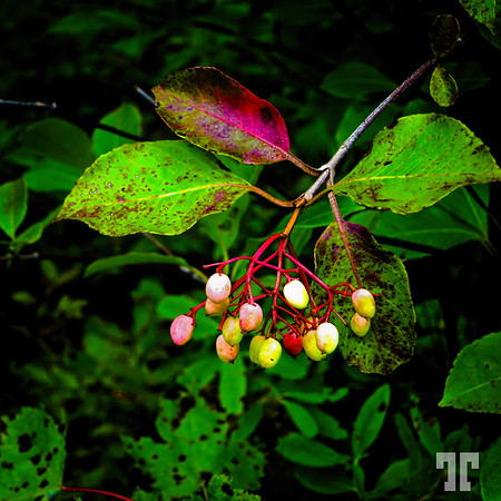 Berries in Cape Breton, Nova Scotia