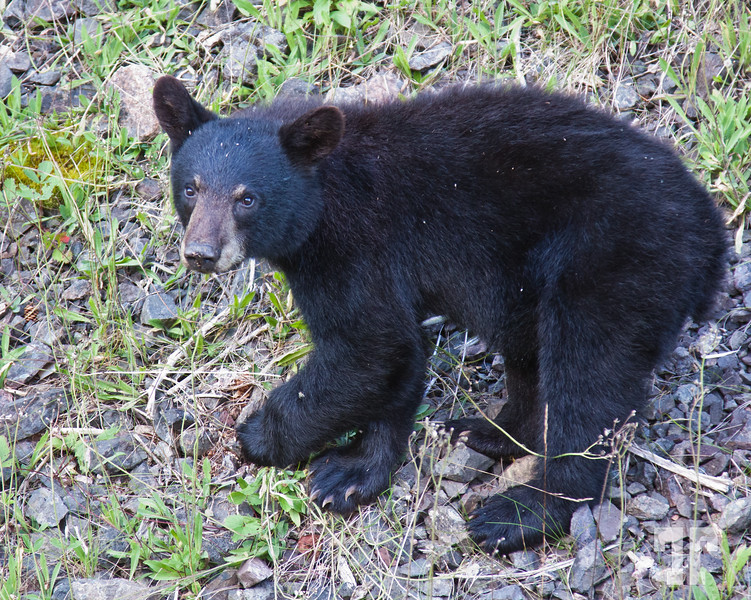 Aug 3, 2010<br /> <br /> Black bear cob in Cape Breton Highlands National Park of Canada<br /> <br /> WORNING: If you look at his sharp claws, you will realize that this is absolutely<br /> wild life and you shouldn't approach these guys, even tough they look cute<br /> and inoffensive. (whether bears, moose or others...) - I took this shot and moose<br /> shots with the telephoto, from the sunroof of the car - They were all on the side<br /> of the road, not deep in the forest. Wild life, Canada Nova Scotia, Cape Breton