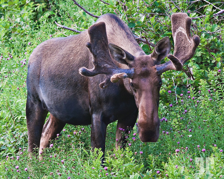 Moose on the side of the road in Cape Breton, Nova Scotia, Canada <br /> <br /> Aug 2, 2010