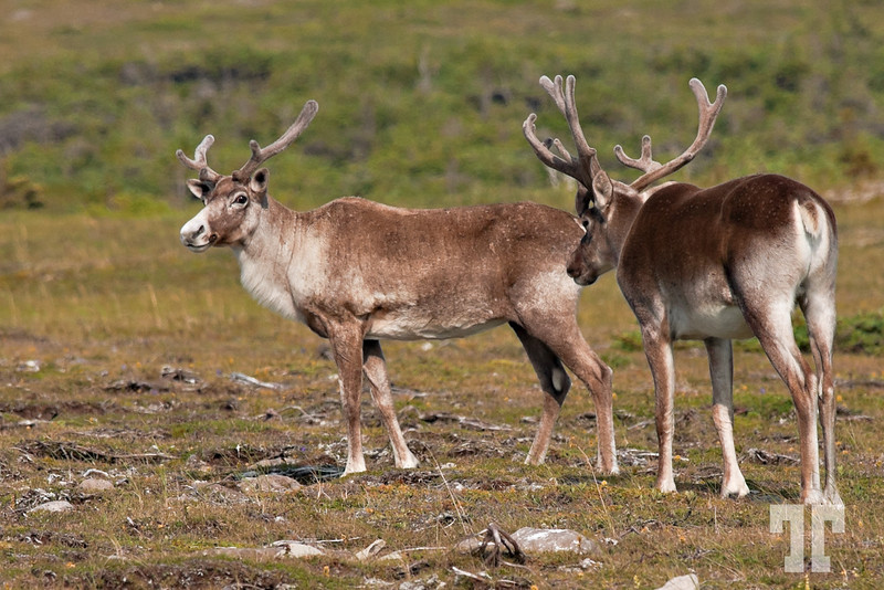 "Aug 15, 2010<br /> <br /> Let's go dear, paparazzi are here!<br /> <br /> I don't know about you, but I've never seen a caribou before.<br /> <br /> Yesterday I was so, so lucky to see 2 of them together in the<br /> National Historic Site "" Port au choix"" on the Eastern part of Newfoundland, Canada."