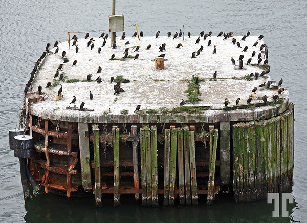 Pylon covered by cormorants at the North Sydney - Nova Scotia ferry terminal -  Canada