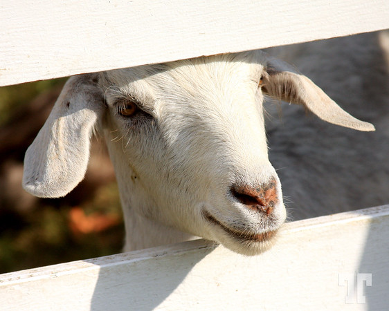 White goat looking out the fence