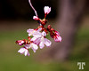 Apr. 17, 2012<br /> <br /> Who doubted that the spring will ever come here? ;)<br /> <br /> This past Sunday I saw the first cherry blossoms in Ottawa - Yeah!!!