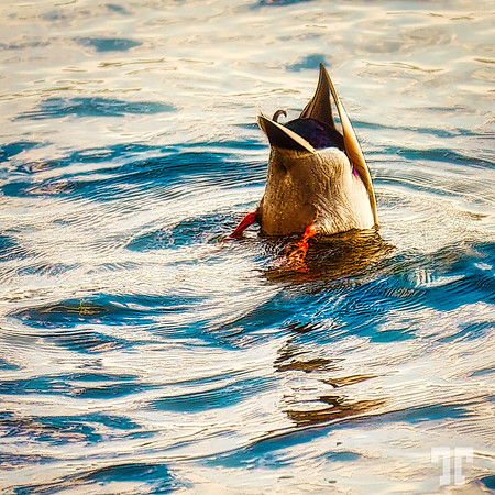 "October 5, 09  Half duck :)  Entry for the #34: ""Inside Out or Upside Down"" Dgrin contest Wild life, Canada"