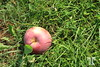 One apple in the grass, view from above Quebec countryside