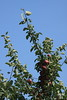 Apples in Quebec, Canada Quebec countryside