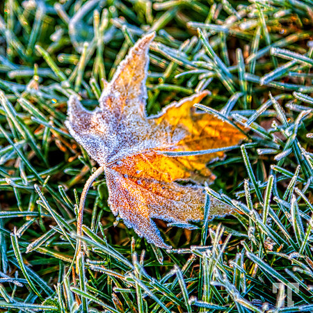 frosted-maple-leaf-2