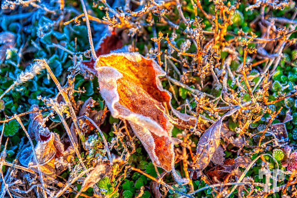 frosted-dry-leaves