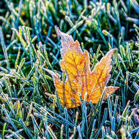 frosted-maple-leaf-3
