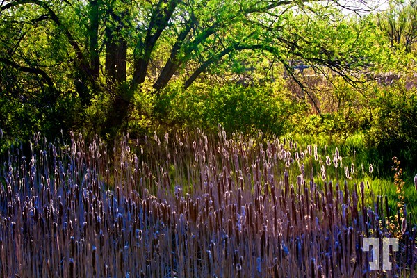 Spring in the park and... more cattails