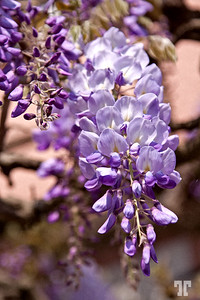 May 12, 2012  Wisteria  He, he,... I found one of my Wisteria shots taken last spring on the Lake Constance, Germany and edited this morning :) Bodensee-Lake-Constance